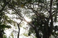 Sol till och med trädfilialerna Fotografering för Bildbyråer