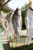 Sol-torkad rimmad fisk i luften Arkivbild
