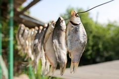 Sol-torkad rimmad fisk i luften Arkivbilder
