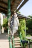 Sol-torkad rimmad fisk i luften Arkivfoto