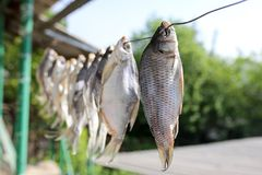 Sol-torkad rimmad fisk i luften Royaltyfri Fotografi