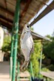 Sol-torkad rimmad fisk i luften Arkivfoton