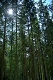 Sol a través de copas de árbol imagen de archivo