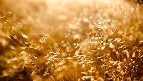 Sol a través de la hierba salvaje en prado del otoño Fotos de archivo