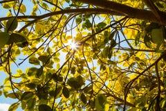 Sol a través de las hojas Foto de archivo libre de regalías