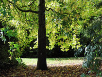 sol a través de las hojas de arce del otoño Imagen de archivo libre de regalías