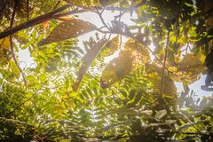 Sol a través de las hojas del árbol de las FO de hojas caducas mezcladas verdes Fotos de archivo