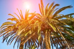 Sol a través de las ramas de palmeras fotos de archivo