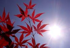 Sol un arce japonés rojo Fotos de archivo libres de regalías
