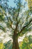 Sol y árboles antiguos Fotografía de archivo libre de regalías