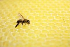 Sola abeja Foto de archivo libre de regalías