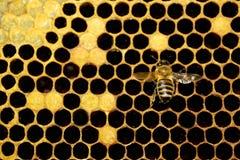 Sola abeja Imagen de archivo libre de regalías