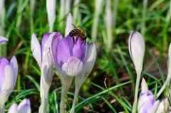 Sola abeja, azafranes, hojas frescas del verde y hojas viejas, muertas Imagenes de archivo