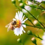 Sola abeja de la miel que recolecta el polen de una flor de la margarita Imagen de archivo