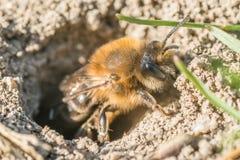 Sola abeja de mina femenina en su agujero en la tierra Fotografía de archivo
