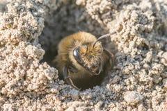 Sola abeja de mina femenina en su agujero en la tierra Foto de archivo