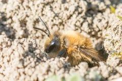 Sola abeja de mina femenina en su agujero en la tierra Fotografía de archivo libre de regalías