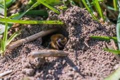 Sola abeja de mina femenina en su agujero en la tierra Imagen de archivo libre de regalías