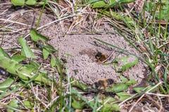 Sola abeja de mina femenina en su agujero en la tierra Imágenes de archivo libres de regalías