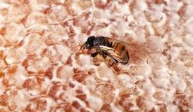 Sola abeja en el panal amarillo Imagen de archivo
