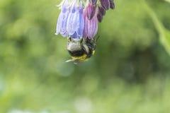Sola abeja en la flor, al revés Fotografía de archivo
