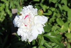 Sola abeja en la flor blanca Foto de archivo libre de regalías
