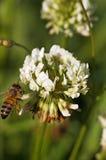 Sola abeja en la flor del trébol Foto de archivo