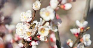 Sola abeja en la rama floreciente del albaricoque Imagen de archivo