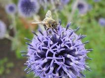 Sola abeja que se sienta en una flor azul Fotografía de archivo