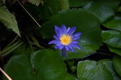 Sola agua lilly en la floraci?n imagen de archivo libre de regalías
