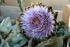 Sola alcachofa púrpura Fotos de archivo libres de regalías