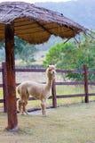 Sola alpaca en una granja Imágenes de archivo libres de regalías