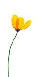 Sola amapola. Fotografía de archivo libre de regalías