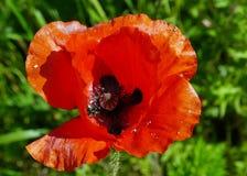 Sola amapola roja Fotografía de archivo