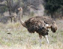 Sola avestruz femenina que camina en hierba Fotografía de archivo libre de regalías