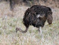 Sola avestruz femenina que come en hierba Foto de archivo libre de regalías