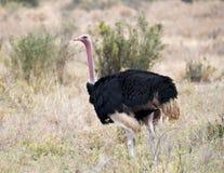 Sola avestruz masculina que camina en hierba Imagenes de archivo