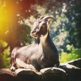 Sola cabra en Sunny Day Fotos de archivo libres de regalías