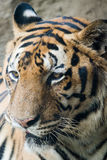 Sola cara del tigre de Bengala foto de archivo libre de regalías