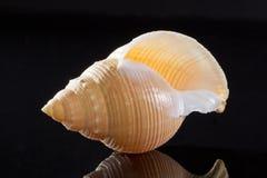 Sola concha marina aislada en fondo negro Foto de archivo libre de regalías