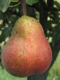 Sola ejecución roja de la pera en el árbol Toscana, Italia Imágenes de archivo libres de regalías