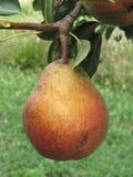 Sola ejecución roja de la pera en el árbol Toscana, Italia Fotos de archivo