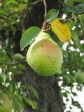 Sola ejecución verde de la pera en el árbol Toscana, Italia Imagen de archivo libre de regalías