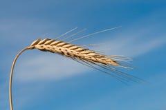 Sola espiguilla del trigo Imágenes de archivo libres de regalías