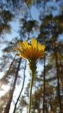 SOLA FLOR Imagen de archivo libre de regalías