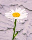 Sola flor aislada, ascendente cercano de la manzanilla Foto de archivo libre de regalías