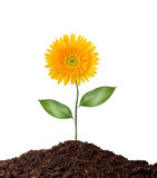 Sola flor aislada en blanco Fotos de archivo libres de regalías