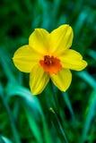 Sola flor amarilla Fotos de archivo libres de regalías