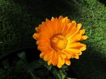 Sola flor anaranjada del Calendula con el fondo verde Imagen de archivo