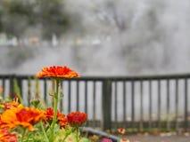 Sola flor anaranjada delante de cocer el lago al vapor en Rotorua, Nueva Zelanda fotos de archivo libres de regalías